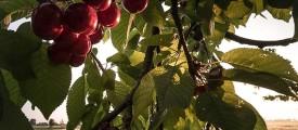 ciliegieceresara
